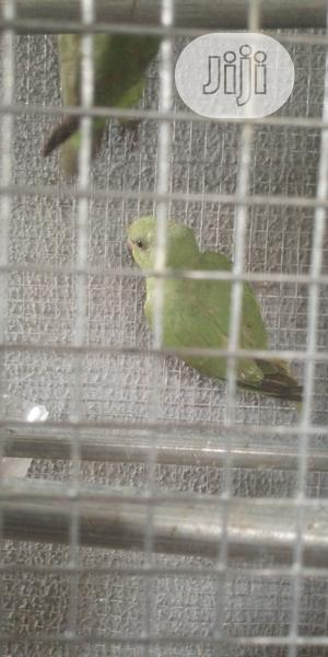 Parrots For Sale @ Afaulks Farms. | Birds for sale in Lagos State, Ikorodu