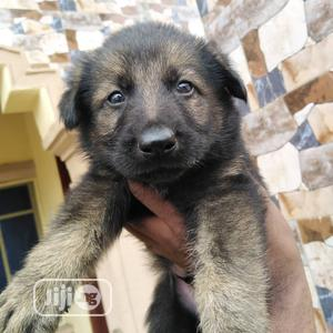 Baby Female Purebred German Shepherd   Dogs & Puppies for sale in Kwara State, Ilorin South