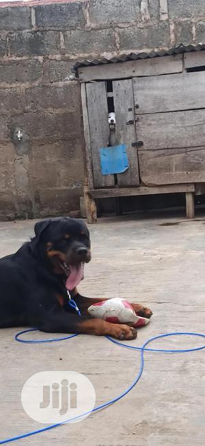 Adult Male Purebred Rottweiler | Dogs & Puppies for sale in Ekiti State, Ado Ekiti