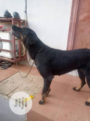 Young Female Mixed Breed Rottweiler   Dogs & Puppies for sale in Abuja (FCT) State, Kubwa