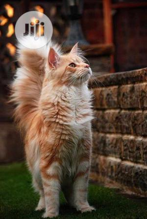 1-3 month Female Purebred Turkish Van   Cats & Kittens for sale in Abuja (FCT) State, Wuse 2