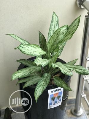 Natural Plants Outdoor And Indoor Plants   Garden for sale in Lagos State
