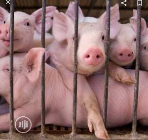 Pigs For Sale | Livestock & Poultry for sale in Edo State, Benin City