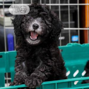 Baby Female Purebred Poodle   Dogs & Puppies for sale in Lagos State, Ojodu