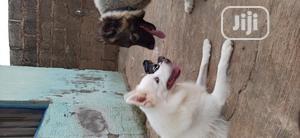 Adult Male Purebred American Eskimo | Dogs & Puppies for sale in Ekiti State, Ado Ekiti
