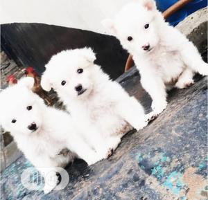 Baby Male Purebred American Eskimo | Dogs & Puppies for sale in Delta State, Oshimili South
