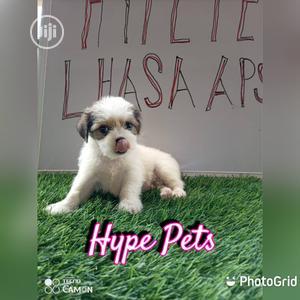 1-3 Month Female Purebred Lhasa Apso | Dogs & Puppies for sale in Ogun State, Ado-Odo/Ota