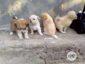 Young Female Purebred Lhasa Apso | Dogs & Puppies for sale in Rivers State, Port-Harcourt
