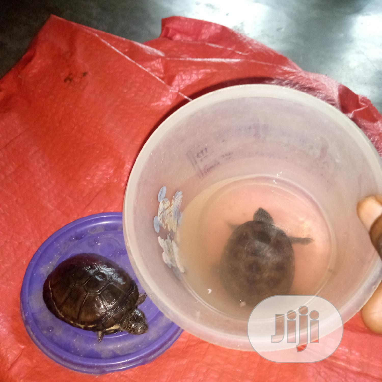 Aquarium Tortoise