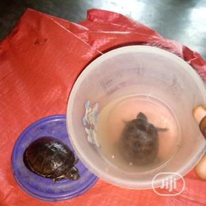 Aquarium Tortoise   Reptiles for sale in Lagos State, Surulere
