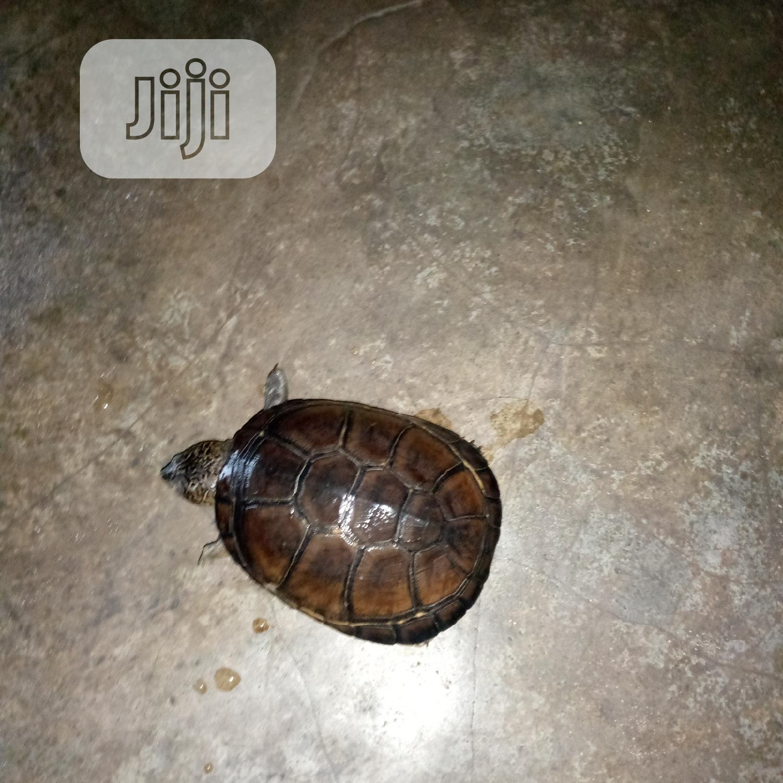 Aquarium Tortoise   Reptiles for sale in Surulere, Lagos State, Nigeria