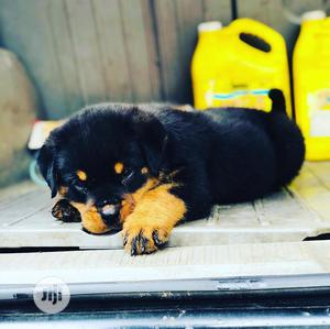 Young Female Purebred Rottweiler | Dogs & Puppies for sale in Lagos State, Maryland