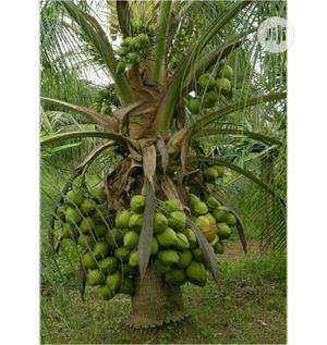 Introducing the Dwarf Coconut | Feeds, Supplements & Seeds for sale in Ogun State, Obafemi-Owode