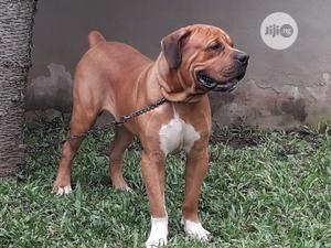 1+ year Male Purebred Boerboel | Dogs & Puppies for sale in Lagos State, Ifako-Ijaiye