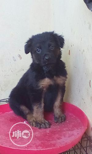 1-3 Month Male Purebred German Shepherd   Dogs & Puppies for sale in Enugu State, Enugu