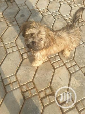 1-3 Month Male Purebred Lhasa Apso | Dogs & Puppies for sale in Abuja (FCT) State, Utako