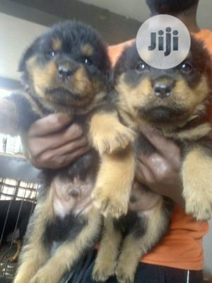 Young Female Purebred Rottweiler | Dogs & Puppies for sale in Ogun State, Ijebu Ode