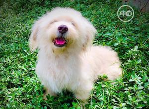 Baby Female Purebred Lhasa Apso | Dogs & Puppies for sale in Lagos State, Lagos Island (Eko)