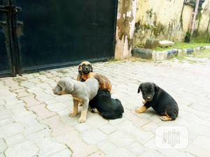 Baby Female Purebred Boerboel   Dogs & Puppies for sale in Abuja (FCT) State, Utako