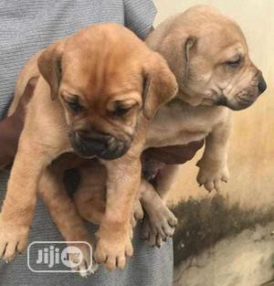 1-3 Month Female Purebred Boerboel | Dogs & Puppies for sale in Osun State, Osogbo