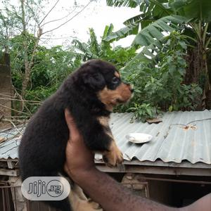 Baby Male Purebred Rottweiler | Dogs & Puppies for sale in Lagos State, Lekki