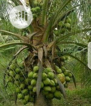 Hybrid Dwarf Coconut Seedlings | Feeds, Supplements & Seeds for sale in Oyo State, Oluyole