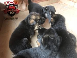 0-1 Month Female Purebred German Shepherd   Dogs & Puppies for sale in Lagos State, Alimosho