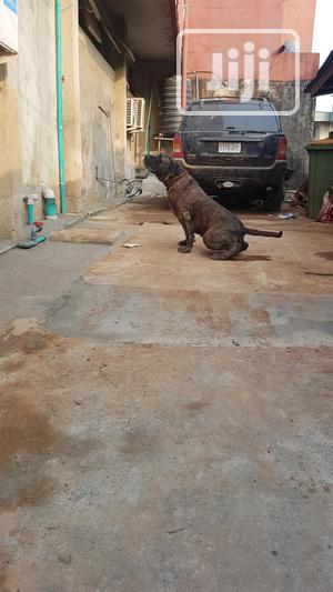 1+ Year Female Purebred Boerboel | Dogs & Puppies for sale in Lagos State, Ikeja