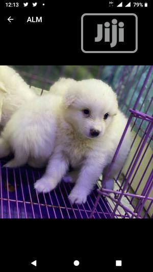 Baby Female Purebred American Eskimo | Dogs & Puppies for sale in Lagos State, Abule Egba