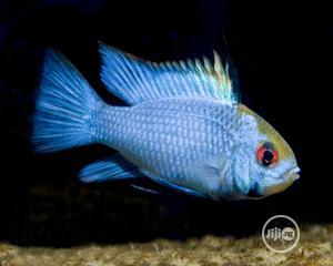 Blue Ram Aquarium Fish   Fish for sale in Lagos State, Surulere