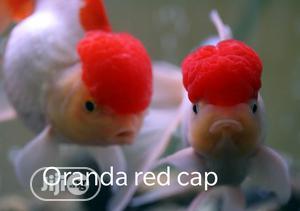 Oranda Cap Aquarium Fish   Fish for sale in Lagos State, Surulere