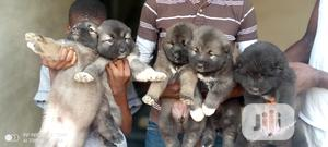 1-3 month Female Purebred Caucasian Shepherd | Dogs & Puppies for sale in Kwara State, Ilorin South