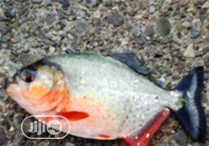 Pinraha Aquarium Fish | Fish for sale in Lagos State, Surulere