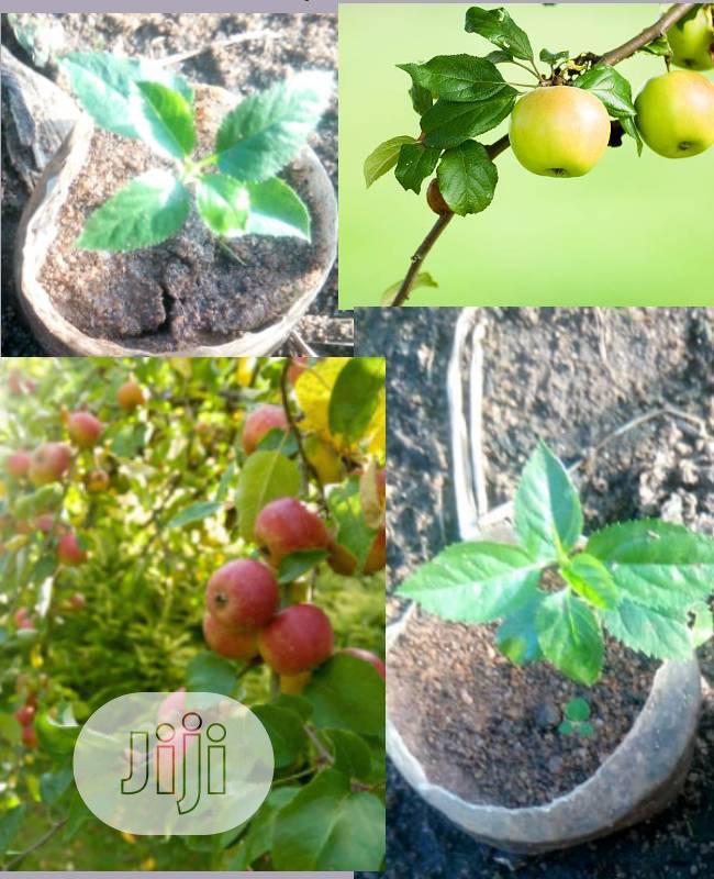 Hybrid Red & Green Wambugu Apple Seedlings