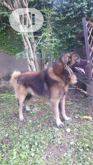 1+ Year Male Mixed Breed German Shepherd | Dogs & Puppies for sale in Abuja (FCT) State, Maitama