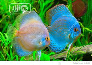 Discuss Aquarium Fish | Fish for sale in Lagos State, Surulere