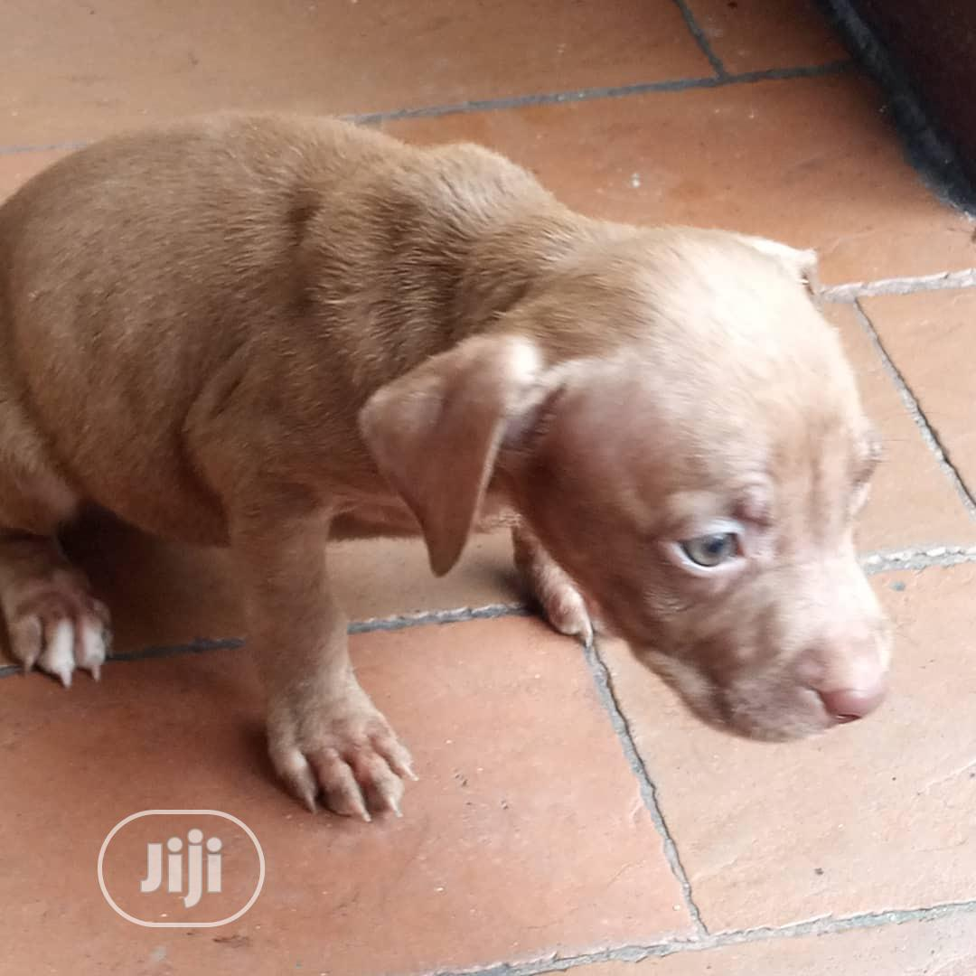 Baby Female Purebred American Pit Bull Terrier   Dogs & Puppies for sale in Port-Harcourt, Rivers State, Nigeria