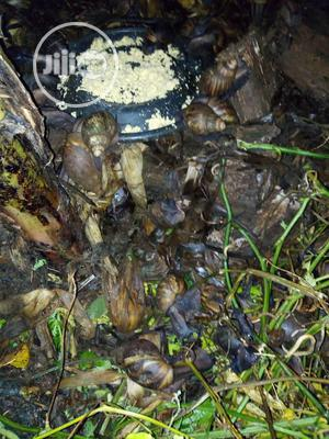 Snail For Your Farm | Other Animals for sale in Ogun State, Ado-Odo/Ota