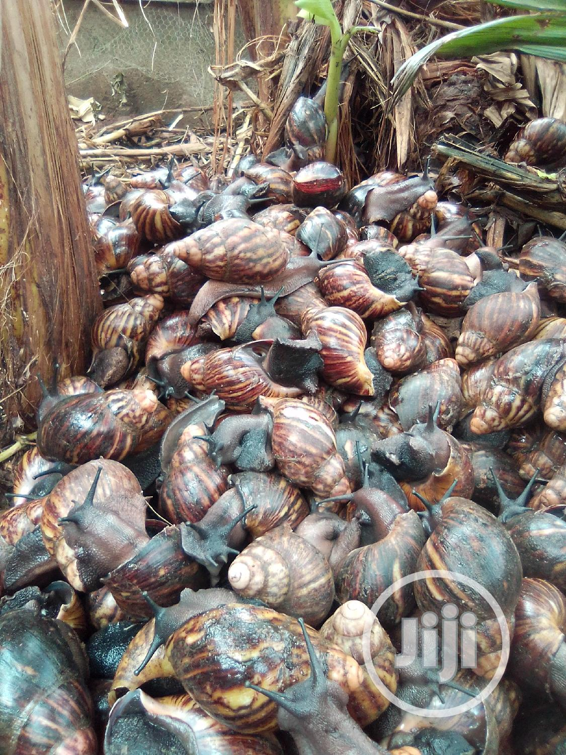 Healthy Snails For Sale