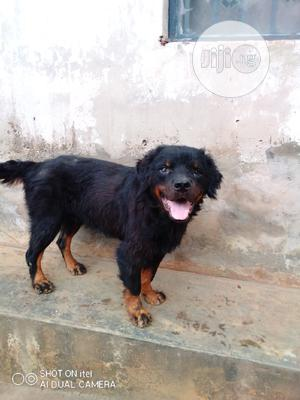 3-6 Month Male Purebred Rottweiler | Dogs & Puppies for sale in Lagos State, Alimosho