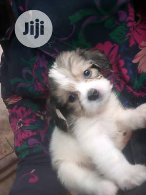 Baby Female Purebred Lhasa Apso | Dogs & Puppies for sale in Oyo State, Ibadan