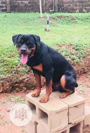 Dog Trainer   Pet Services for sale in Lagos State, Ikeja