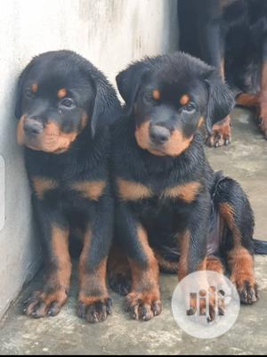 Young Male Purebred Rottweiler | Dogs & Puppies for sale in Lagos State, Surulere