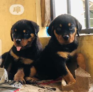 Young Female Purebred Rottweiler | Dogs & Puppies for sale in Lagos State, Surulere