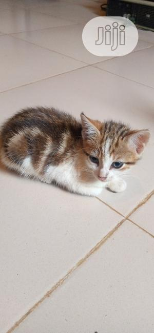 1-3 Month Female Purebred Siberian   Cats & Kittens for sale in Lagos State, Ikorodu