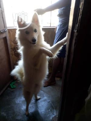 1-3 Month Male Purebred American Eskimo | Dogs & Puppies for sale in Lagos State, Ikotun/Igando