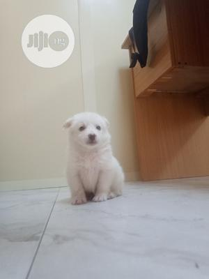 1-3 Month Male Purebred American Eskimo | Dogs & Puppies for sale in Lagos State, Ikorodu