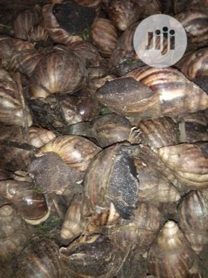 Edible Snails For Sales At Affordable Price | Other Animals for sale in Ogun State, Ado-Odo/Ota