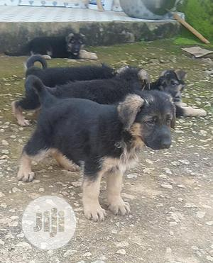 Baby Female Purebred German Shepherd   Dogs & Puppies for sale in Rivers State, Port-Harcourt