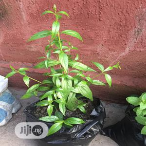King Of Bitters Seedlings And Fresh Leaf Herbs   Feeds, Supplements & Seeds for sale in Lagos State, Ikotun/Igando